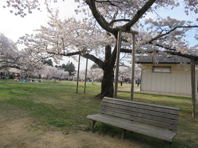三神峯公園でお花見
