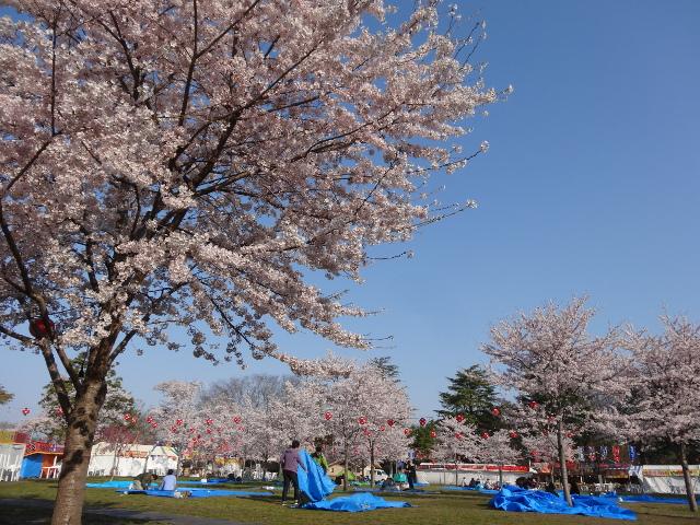 仙台の西公園でお花見