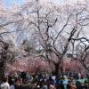 仙台榴ヶ岡公園お花見は場所取りが大変