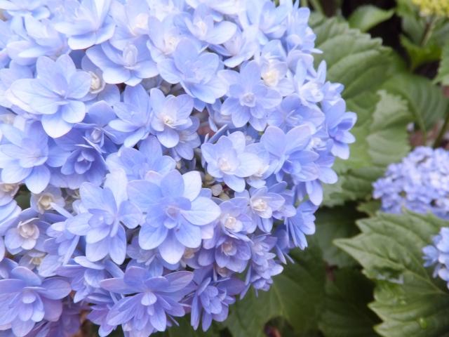 母の日に珍しい紫陽花はいかが
