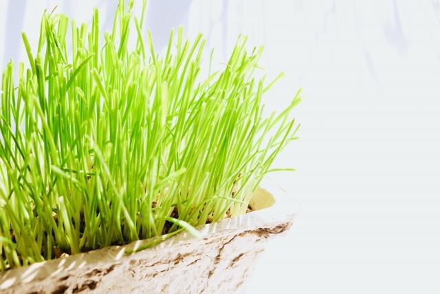猫草はイネ科の燕麦