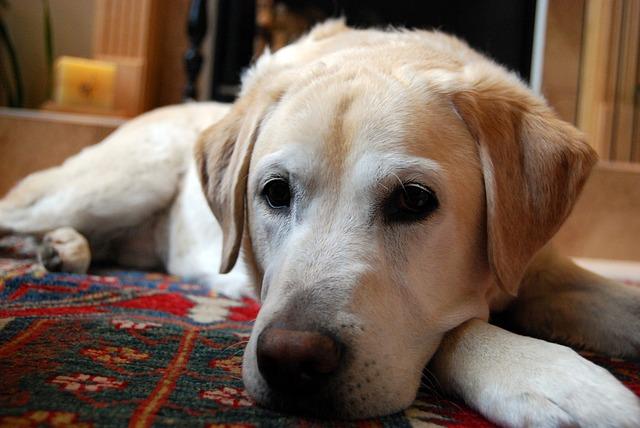 犬の前立腺肥大の治療法は?