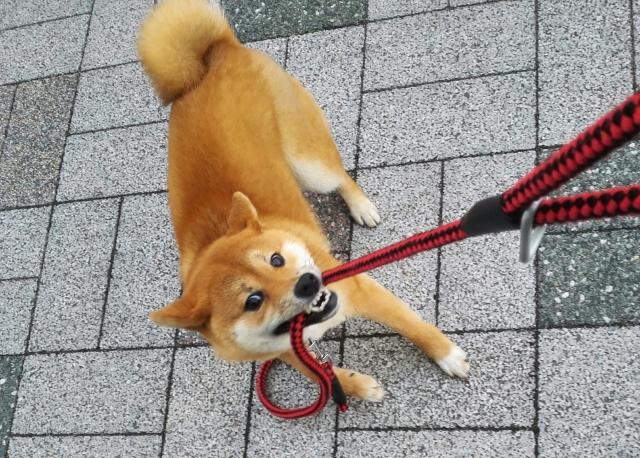 犬がリードを噛むのはどうして?