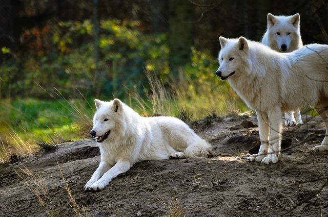 狼の群れに上下関係はない