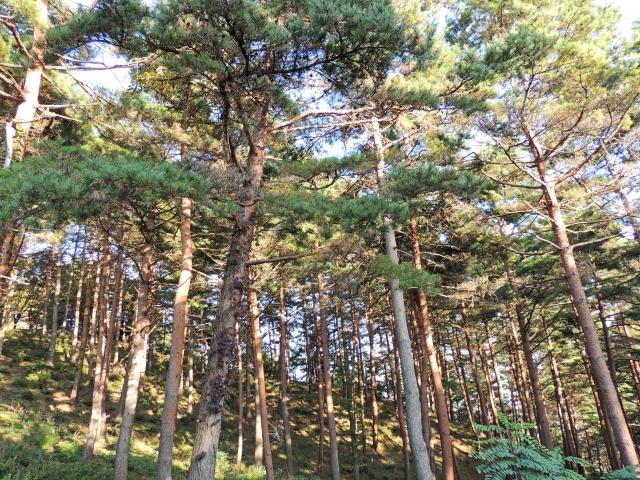 松茸はアカマツ林に生える