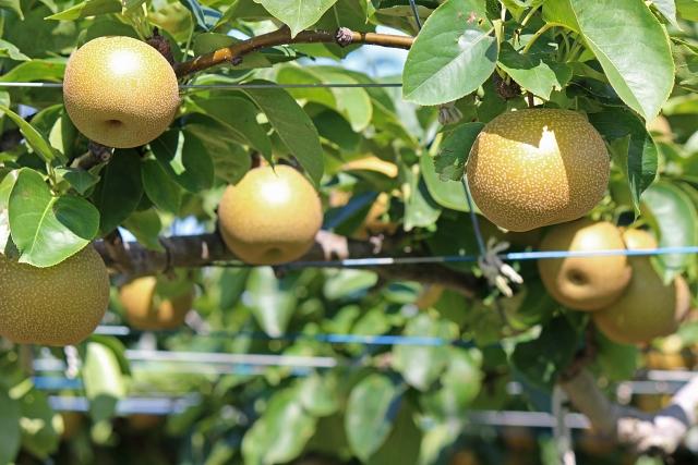 山形県で梨狩りができる所は