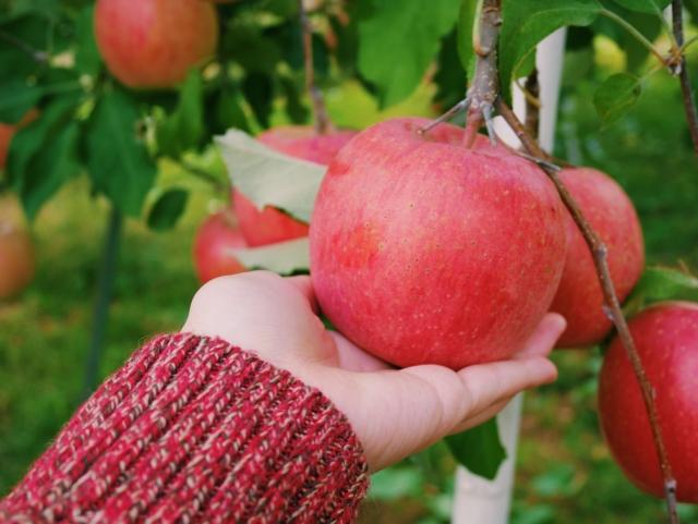 山形でりんご狩りができる果樹園